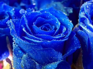 Beautiful Blue Rose Wallpaper HD Desktop