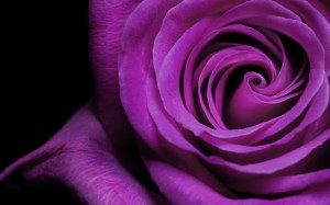 Purple Rose Wallpaper HD Picture