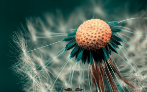 Macro Photography Dandelion wallpaper HD