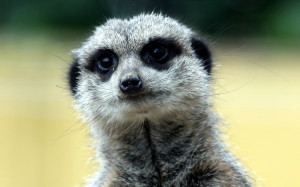 Meerkat Animal Wallpaper HD